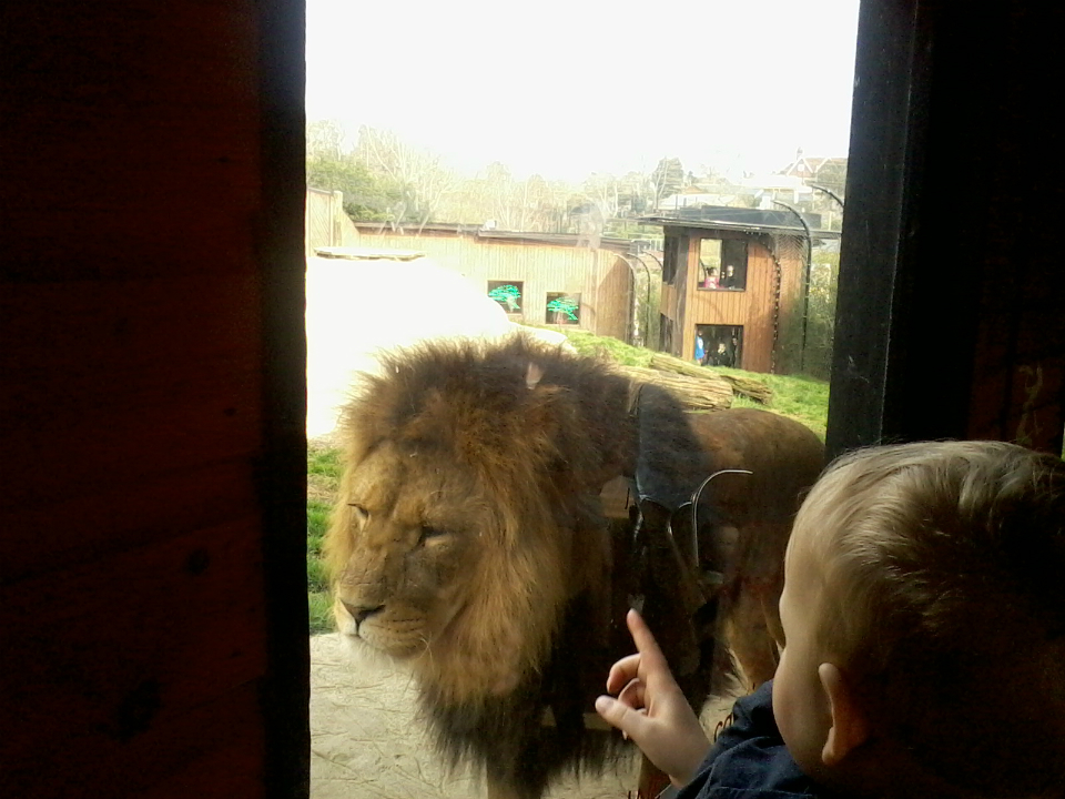 Alfie telling a lion off at Colchester Zoo.
