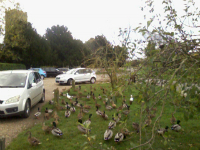 The ducks at Mulbarton.